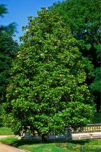 Magnolia Tree in Mississippi