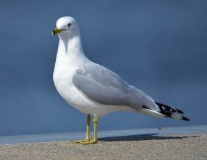 Utah State Bird Ring-Billed Gull