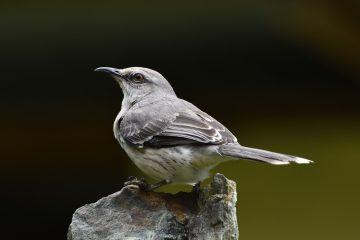 Mockingbird state bird