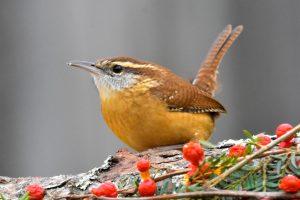 South Carolina State Bird Wren