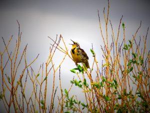 Kansas state bird Western Meadowlark with mouth open