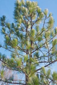 North Carolina state tree Longleaf pine