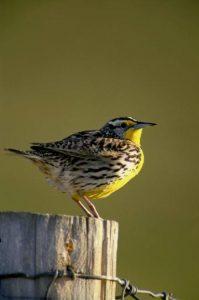 Oregon State Bird – Western Meadowlark – 50States.com