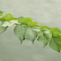 north dakota american elm leaf