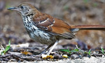 Brown Thrasher Bird