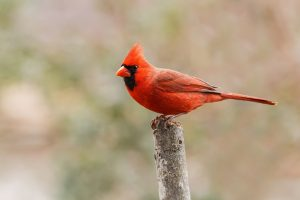 Bright red Cardinal, Ohio state bird