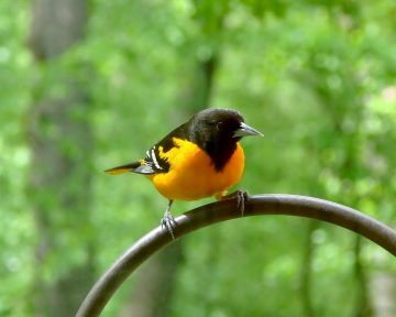 Baltimore oriole the state bird of Maryland