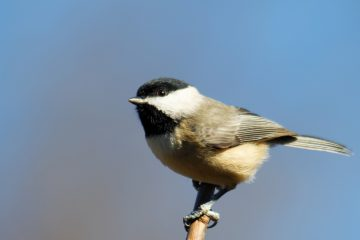 Massachusetts chickadee