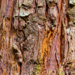 Oregon State Tree Douglas fir detail pictures