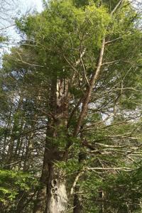 Pennsylvania State Tree – Eastern Hemlock