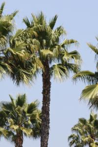 South Carolina Sabal Palm tree