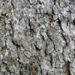 south dakota white spruce details