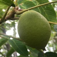 Pecan Tree Seed
