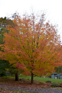 vermont sugar maple