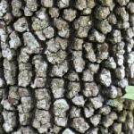 virginia flowering dogwood details