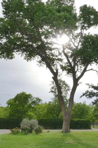 wyoming plains cottonwood tree