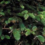 sitka spruce details