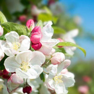 Arkansas State Flower the Apple Blossom