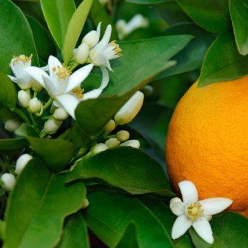 Orange Blossom Flower