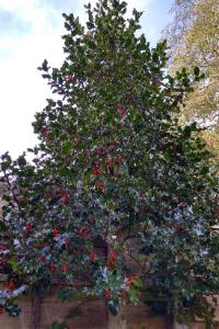 Delaware Holly Tree