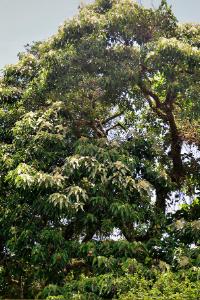 Hawaii Candlenut tree