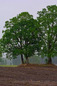 Illinois White Oak tree