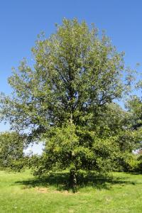 Oak Burr Quercus macrocarpa