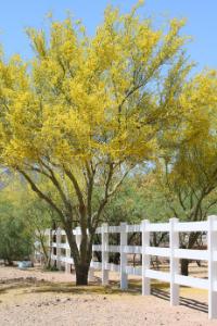 Arizona state tree
