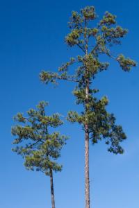Arkansas state tree