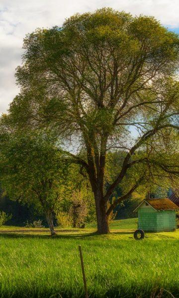 maryland state tree
