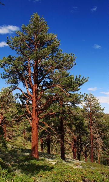 Montana state tree