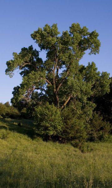 Eastern Cottonwood State Tree