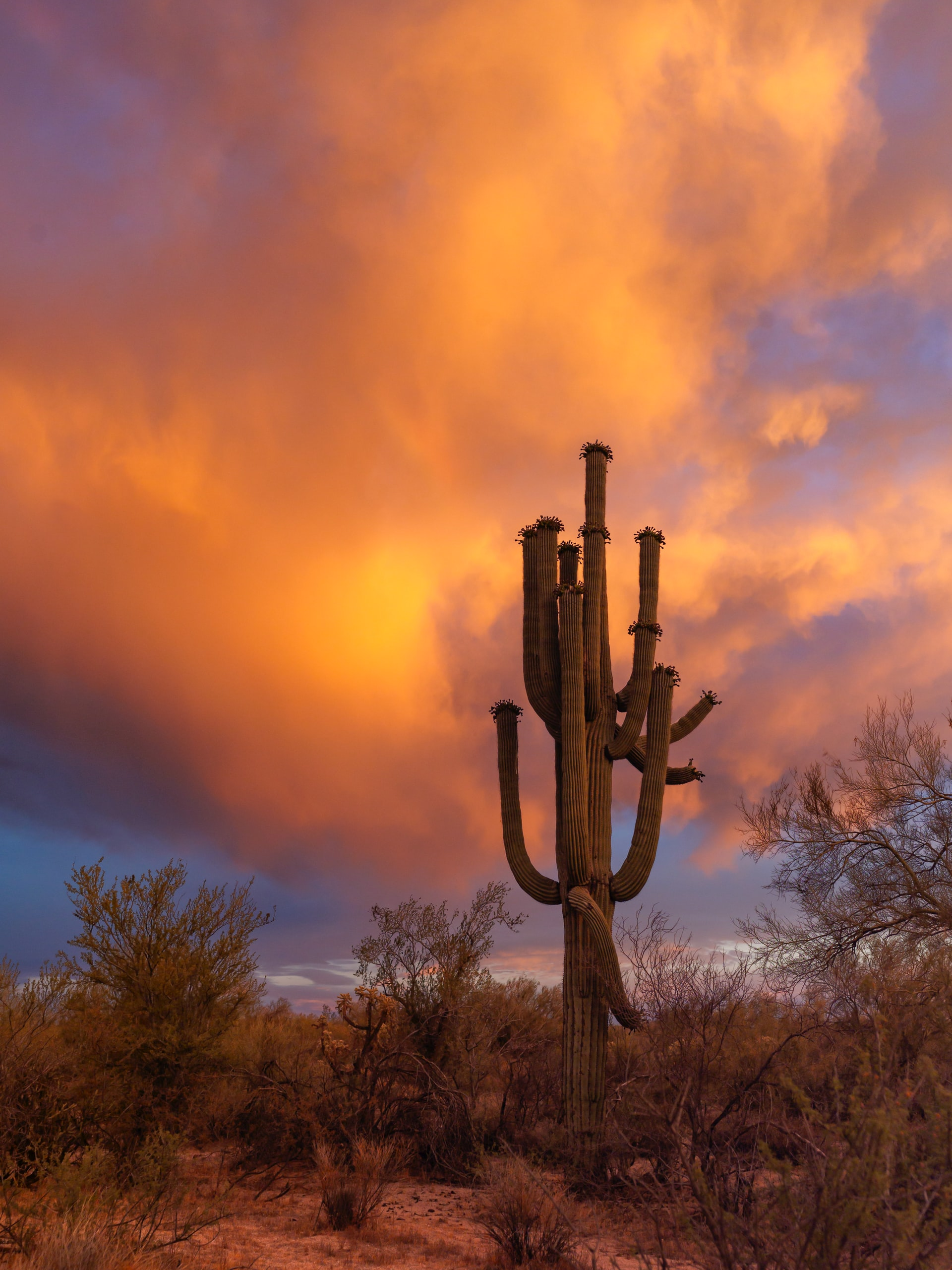 Organ Pipe cactus at dusk