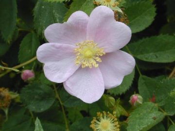 Iowa state flower