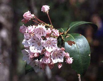 Pennsylvania state flower