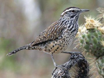 Arizona state bird