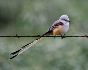 Oklahoma state bird