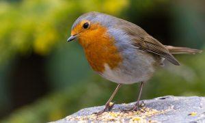 American Robin- Wisconsin state bird