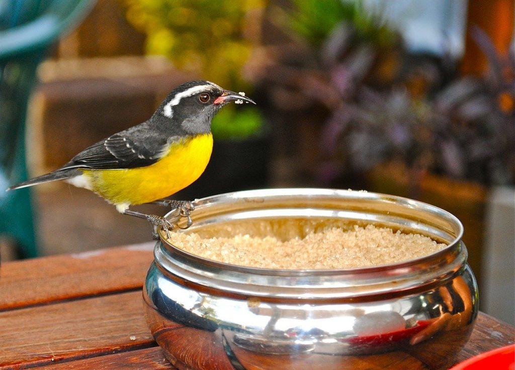 Bananaquit - The official bird of the Virgin Islands