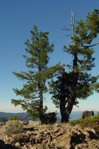 Idaho state tree