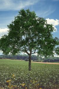 Ohio State Tree